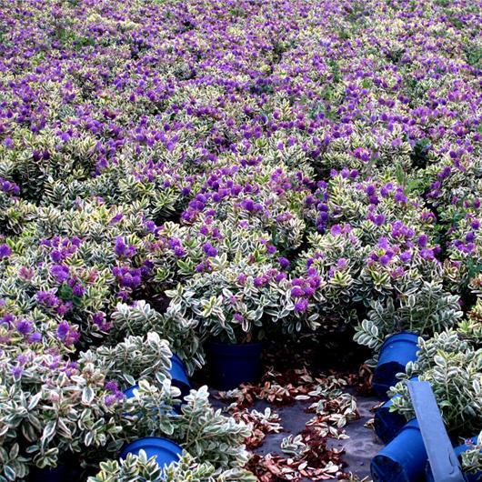 26-leffrinckoucke-flowers.jpg